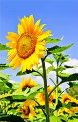 Sunflower flower close up. Sunflower on sunflower field. Sunflower