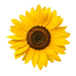 Sunflower flower isloted on a white background