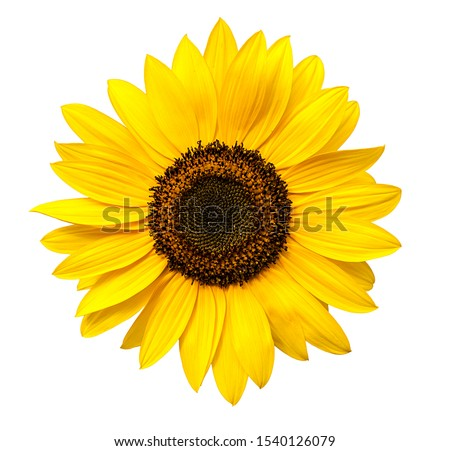 Sunflower flower isloted on a white background Foto stock ©