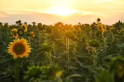 Sunflower flowers in the sunset field.
