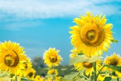 sunflower garden on sunny day in nature background