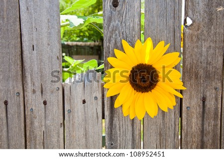 Sunflower growing in between the slats of a wood fence