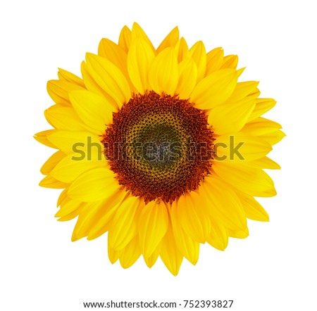 sunflower (Helianthus annuus) isolated on white background, clipping path included Foto stock ©