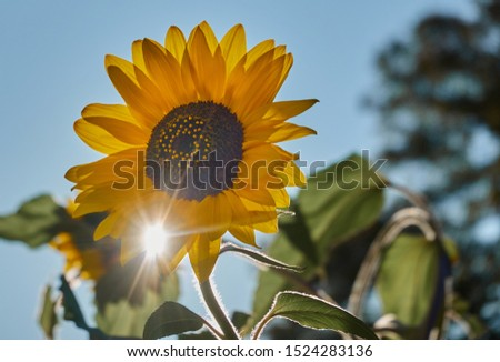 Sunflower (Helianthus annuus), shining in the back light of the sun, with sun rays #1524283136