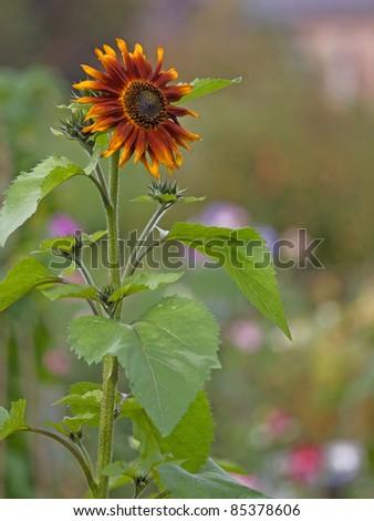 Sunflower (Helianthus Annuus 'Terracotta') in late summer UK
