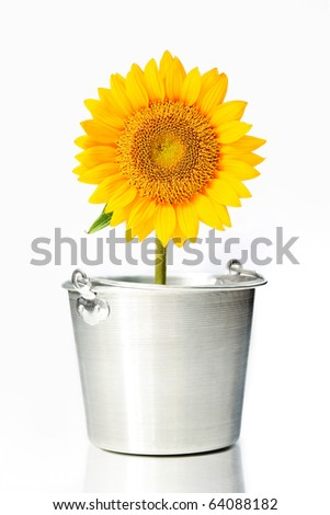 Sunflower in a bucket