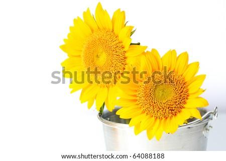 Sunflower in a bucket