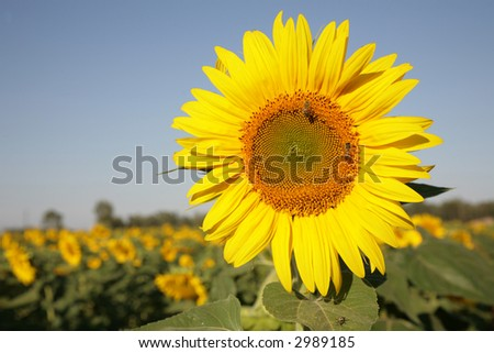 Sunflower in a field filled with Sunflowers - stock photo