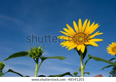 Sunflower in a field of sunflowers
