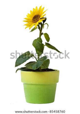 Sunflower in a Flower Pot Isolated on a white background