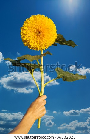 sunflower in a hand on sky background