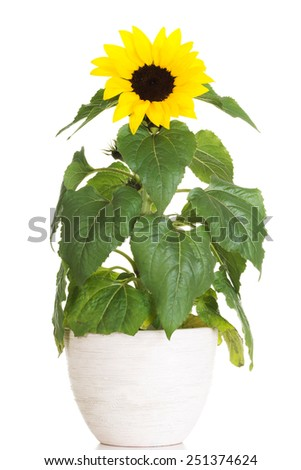 Sunflower in a pot with full of leafs #251374624