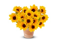 Sunflower in a vase  Bright yellow, beautiful, blooming in season isolated on white background cutout and clipping path