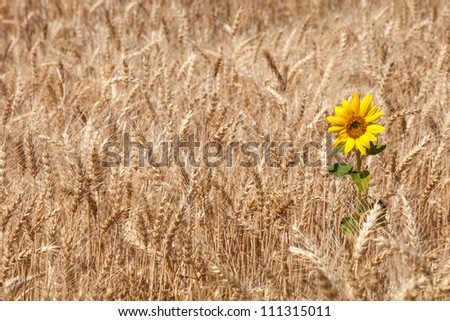 Sunflower in a wheat field