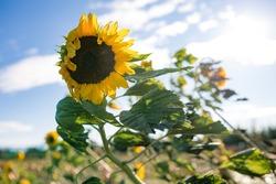 Sunflower in autumn field blown by wind.
