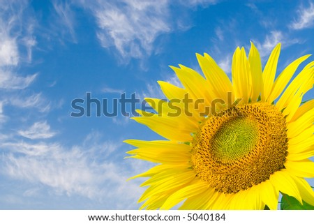 sunflower in blue sky background