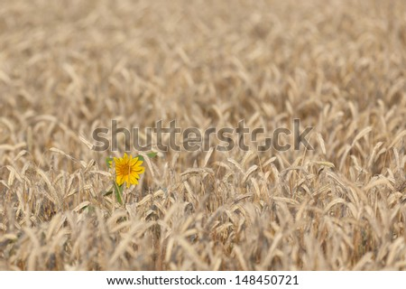 Sunflower in cornfield