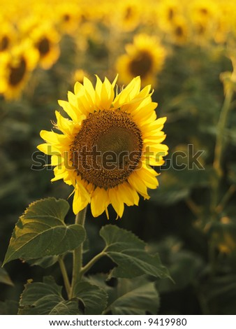 Sunflower in field with others. - stock photo