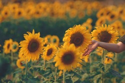 sunflower in hand at flowers field