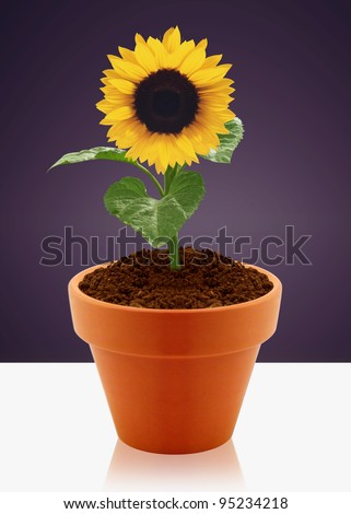 sunflower in small garden pot.