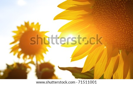 Sunflower in sunbeams. Abstract composition