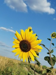 Sunflower in the abundance field with blue bright sky background. Sunflower natural background. Sunflower blooming.  Landscape close-up. Healthy Lifestyles, Ecology, Gardening, Health concept, Nature.