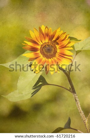 Sunflower in the sunshine antiqued on texture with copy space.