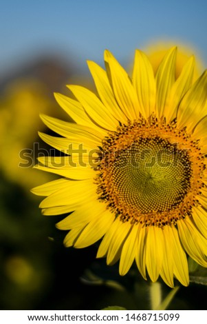 Sunflower is bright and the sky is bright.