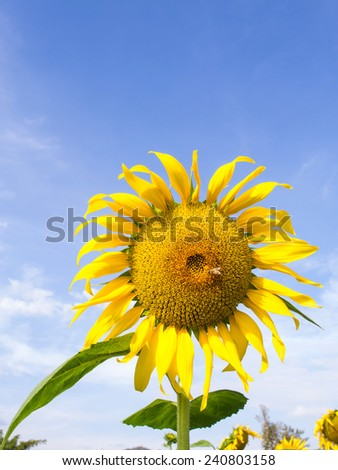 Sunflower is large size flower under cloudy blue sky
