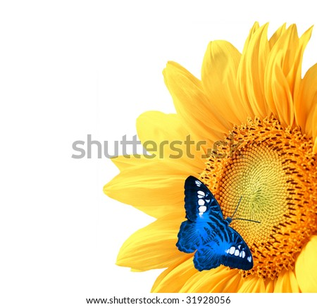 Sunflower, isolated