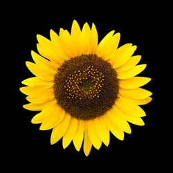 Sunflower isolated  on black background,with clipping path.