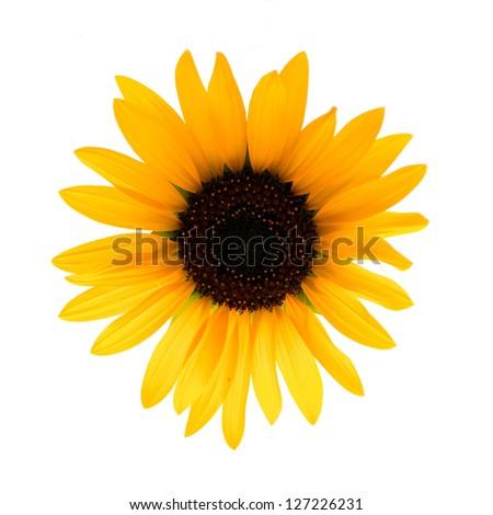 Sunflower isolated on white background. - stock photo