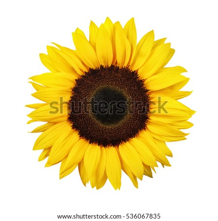 Sunflower isolated on white background - Shutterstock ID 536067835