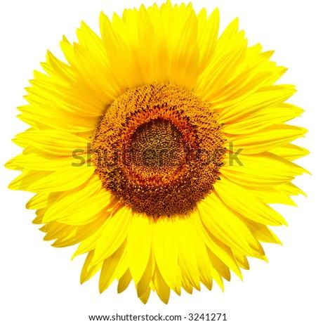 Sunflower. Isolated over white background