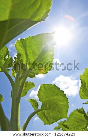 Sunflower leaf against a blue sky and sun