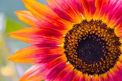 Sunflower magnified and upclose