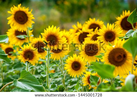 Sunflower natural background. Sunflower blooming #1445001728