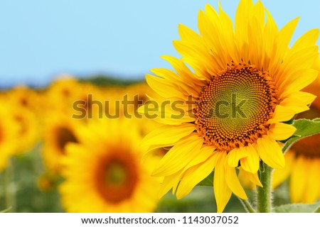 Sunflower natural background. Sunflower blooming. Close-up of sunflower. #1143037052