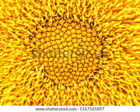 Sunflower natural background. Sunflower blooming. Close-up of sunflower.field of blooming sunflowers.Top View, Space for Text.flower field landscape. Sunflower field panorama. Sunny day.