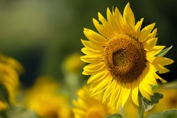 Sunflower natural background, Sunflower blooming, Sunflower oil improves skin health and promote cell regeneration, Thailand