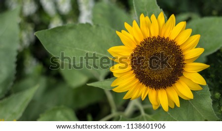 Sunflower natural background, Sunflower blooming, Sunflower oil improves skin health and promote cell regeneration, Thailand #1138601906