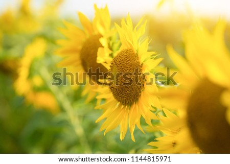 Sunflower natural background, Sunflower blooming, Sunflower oil improves skin health and promote cell regeneration #1144815971