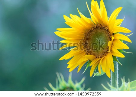Sunflower natural background, Sunflower blooming, Sunflower oil improves skin health and promote cell regeneration #1450972559