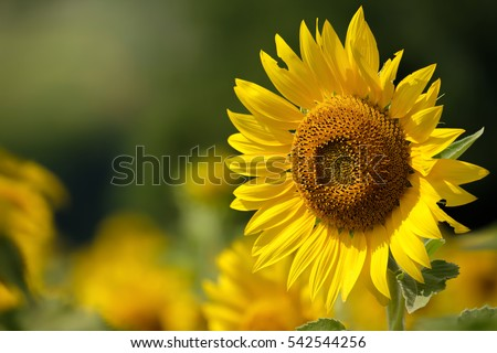 Sunflower natural background, Sunflower blooming, Sunflower oil improves skin health and promote cell regeneration, Thailand #542544256