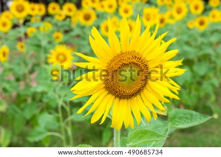 Sunflower of field #490685734