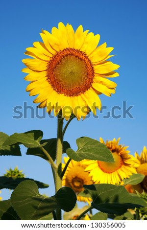 Sunflower on a background of blue sky. Summer field.