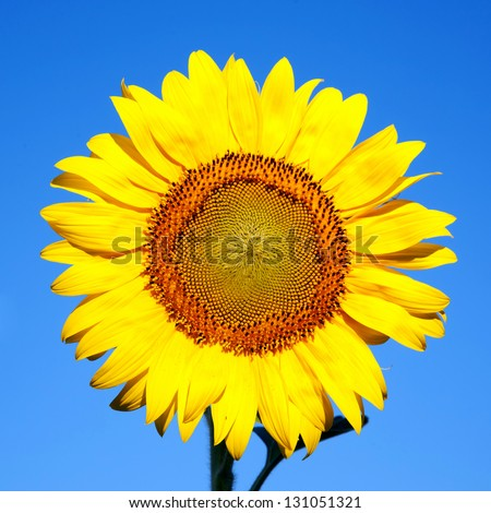 Sunflower on a background of blue sky. The bright colors of summer