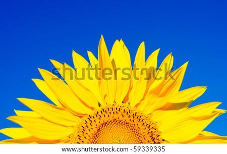 sunflower on a background of the dark blue sky