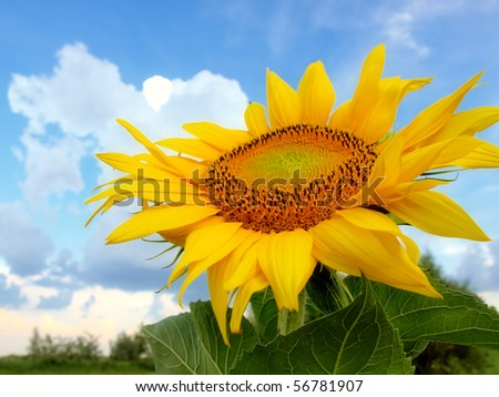Sunflower on a blue sky