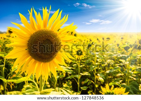 sunflower on a field